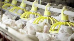 Secretul KFC: În ce condiţii sunt crescuţi puii sacrificaţi după numai 35 de zile