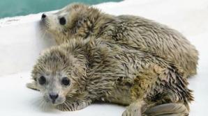 Două foci gemene s-au născut într-un parc maritim din China