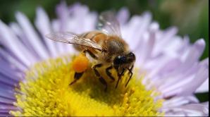 Te-a înţepat o albină? Iată ce trebuie să faci pentru a reduce durerea şi umflăturile