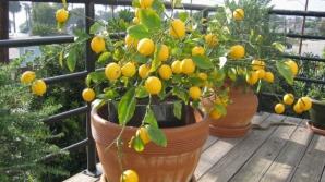 Cum să plantezi un lămâi în 4 paşi simpli