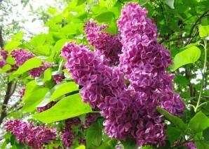 """Liliacul, """"floarea memoriei"""""""