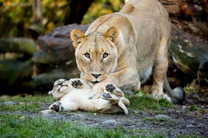 10 imagini emoționante din regatul animalelor: dragostea părinților pentru puii lor