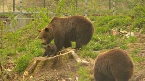 Gorj: Un urs a atacat mai multe gospodării. Autorităţile iau în calcul împuşcarea lui