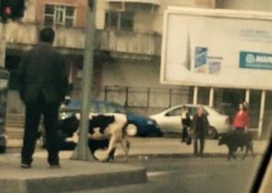 Apariţie ieşită din comun pe o stradă intens circulată din Iaşi. Trecătorii, înmărmuriţi! / Foto: Facebook Esti din Iasi daca