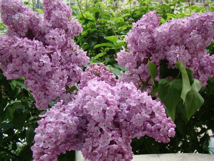 Ce poţi face cu florile de liliac