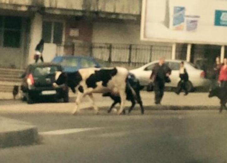 <p>Apariţie ieşită din comun pe o stradă intens circulată din Iaşi. Trecătorii, înmărmuriţi! / Foto: Facebook Esti din Iasi daca</p>