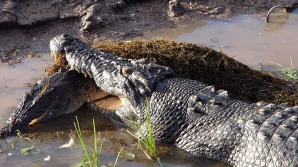 Un crocodil a devorat un alt exemplar din specia lui sub ochii înmărmuriți ai turiștilor