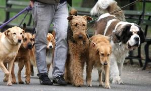 Plimbătorul de câini, un nou job în Londra