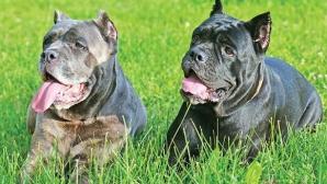 Moarte cumplită! Un bărbat din Mureş a fost sfâşiat de patru câini de luptă