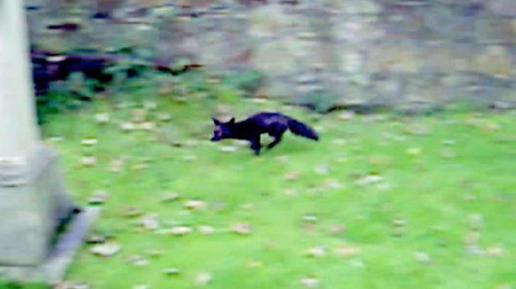 Apariţie extrem de rară! Vulpea neagră revine după ani într-un oraş din Marea Britanie
