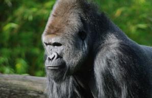 Reacţia uluitoare a unei gorile sătulă să i se tot facă poze, la zoo. A făcut asta în văzul tuturor!