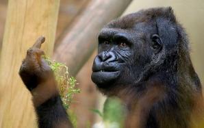 Reacţia uluitoare a unei gorile sătulă să i se tot facă poze, la zoo. A făcut asta în văzul tuturor! / Foto: huffingtonpost.com
