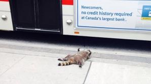 Autorităţile nu au ridicat un raton mort de pe trotuar. Iată ce a urmat