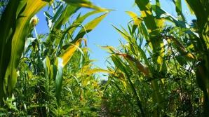 Zeci de hectare de culturi, distruse de animale