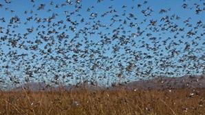 Stare de urgenţă! Invazie de lăcuste. Nu a mai rămas nimic, au mâncat tot