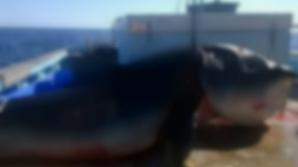 Terifiant! Un monstru marin a fost scos din adâncuri. Şi mort oamenii se îngrozesc când il văd!