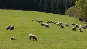 Caz unic în România. Ce se întâmplă în turma unui cioban din Iaşi