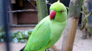 Explicaţie inedită. De ce pot vorbi papagalii?