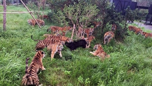 VIDEO ŞOCANT. Un urs a ajuns în cuşca tigrilor. L-au mâncat de viu