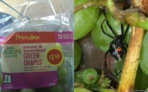 <p>Au găsit un păianjen Văduva Negră într-o pungă cu struguri. Cum a fost posibil aşa ceva</p>