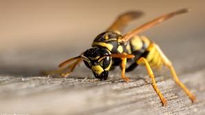 Atenţie la viespii şi albine! Din ce în ce mai mulţi români au ajuns la spital cu reacţii alergice