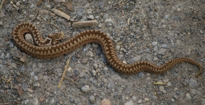 Muşcat de viperă, la locul de muncă. De unde a apărut şarpele?