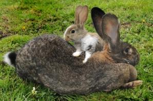 Faceţi cunoştinţă cu Darius, cel mai mare iepure din lume. Este cât un copil de 4 ani