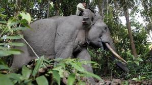 Povestea elefantului Yongki, ucis de braconier. Întreaga Indonezie este indiganată