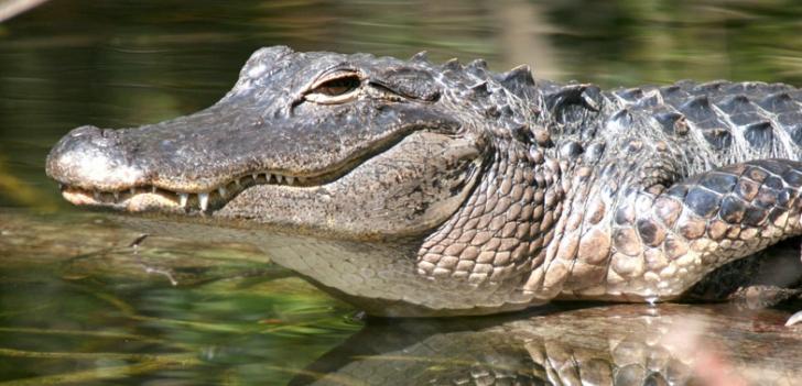 Au vrut să aresteze un traficant de droguri, dar i-a atacat un aligator. Cum s-a petrecut totul