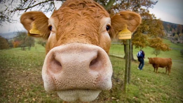 """Veste proastă pentru crescătorii de animale. Tot mai multe bovine fac """"boala limbii albastre"""""""