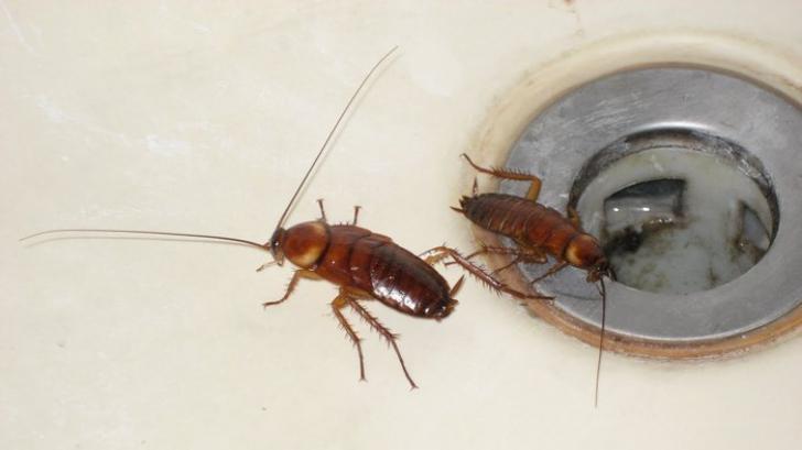 Aceasta este cea mai bună metodă pentru a scăpa de gândacii de bucătărie. Definitiv!