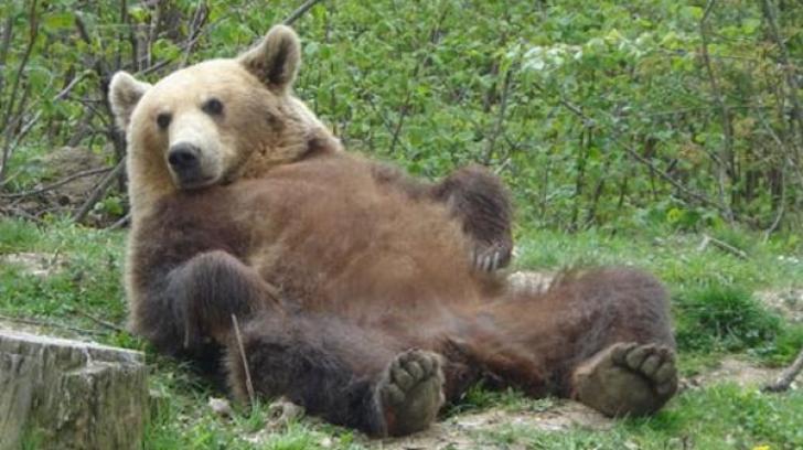 ursi suceava