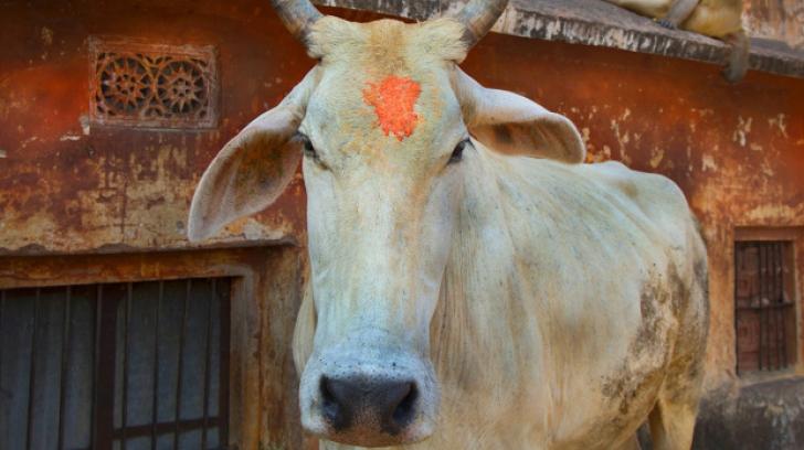 Cum a fost pedepsit un indian bănuit că a mâncat carne de vacă. Totul s-a sfârşit tragic