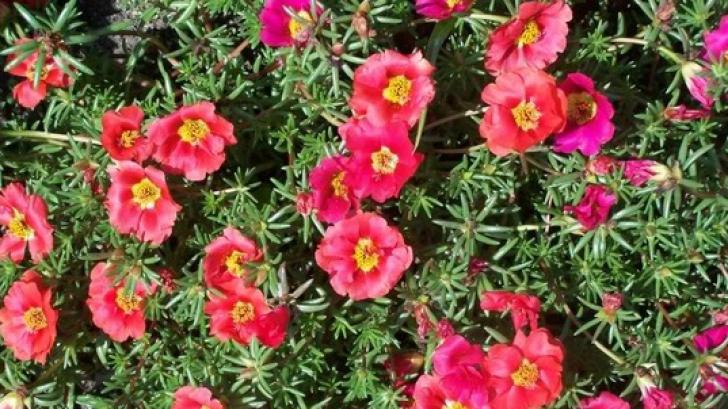 Leacuri din grădină - florile de piatră. Proprietăţi terapeutice spectaculoase
