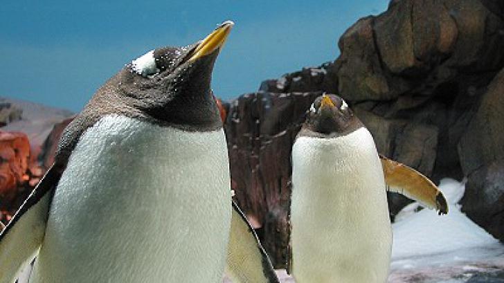 Nu sunt pinguinii din Madagascar, dar...Cum s-a sfârşit o tentativă de evadare de la Zoo