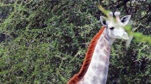 Girafa alba