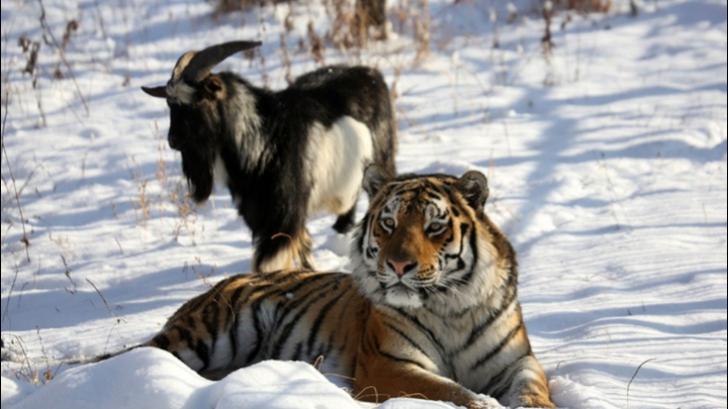 Prietenia dintre un tigru şi un ţap, terminată de un gest. Cum a fost evacuat de urgenţă ţapul