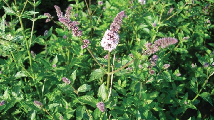 O cunoscută plantă medicinală are proprietăți anticancerigene. Iată cum trebuie folosită