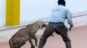 VIDEO ŞOCANT. Un leopard a rănit şase persoane într-o şcoală. Cum a ajuns animalul acolo