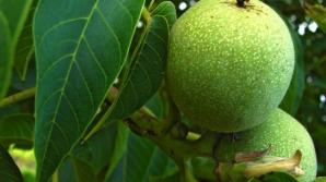 Frunzele de nuc, remediu pentru zeci de probleme de sănătate. Cum se prepară corect infuzia
