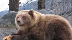 Ce se va întâmpla cu ursul care a ajuns în Ploieşt, de Crăciun, cu un tren marfar