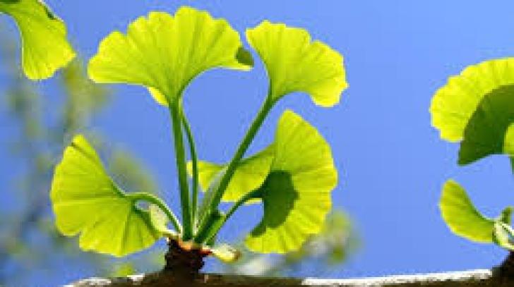 Ce ce arbori exotici a inlocuit o primarie din Constanta banalii plopi