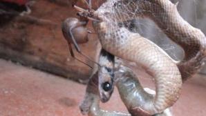 Momentul terifiant în care un şarpe este prins în pânza unui păianjen