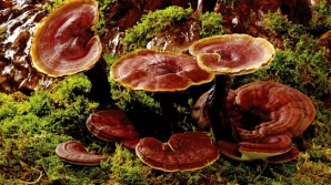 """Aceasta este """"ciuperca nemuririi"""". Cum luptă împotriva cancerului"""