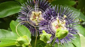 Floarea Patimilor, plantă de leac la toate popoarele lumii