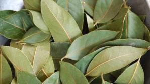 Ştiaţi că se poate face ceai şi din fruze de dafin? Vindecă o mulţime de boli!