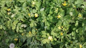 Mulţi cred că e doar o buruiană, însă aceasta plantă tratează peste 150 de boli