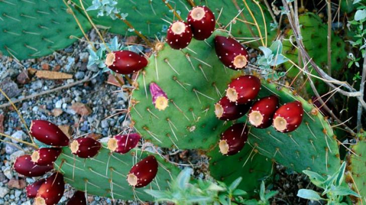 Iată ce substanţă conţine fructul cactus. Ai mânca aşa ceva?