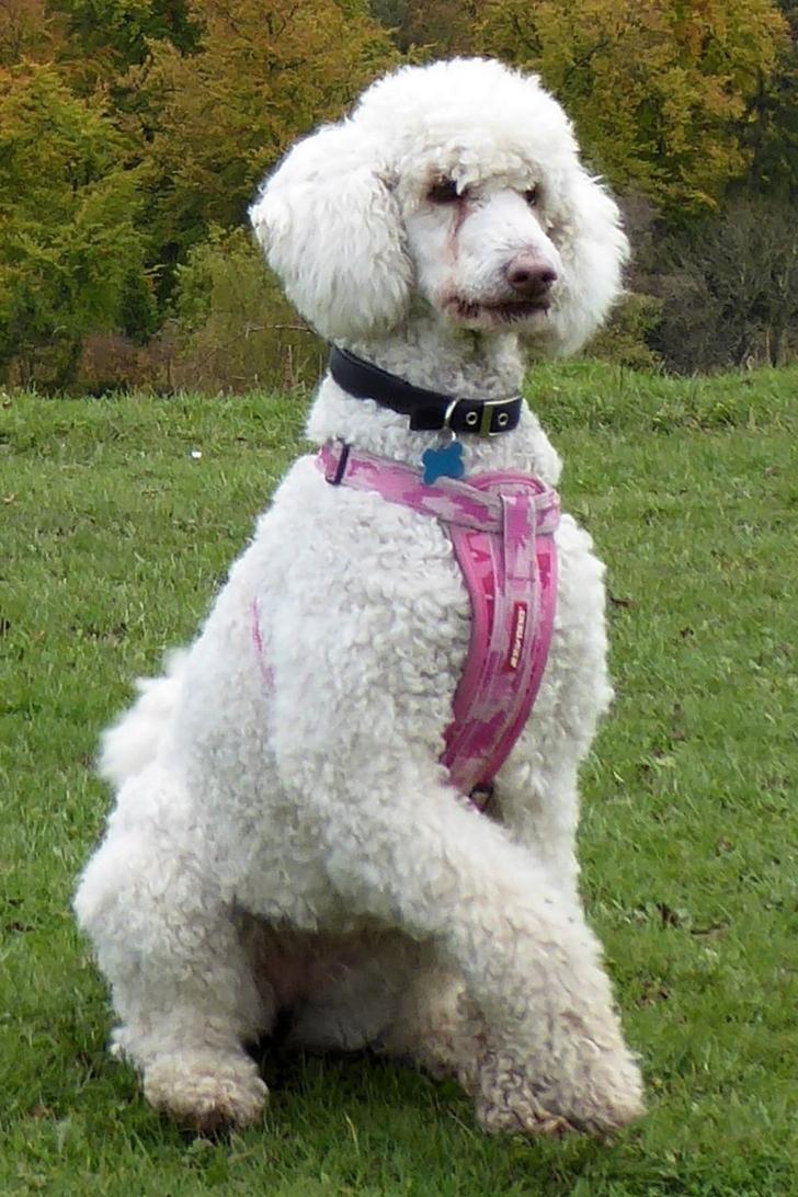 Transformarea spectaculoasă a unui câine. Ce frumusețe se ascundea sub mormanul de noroi