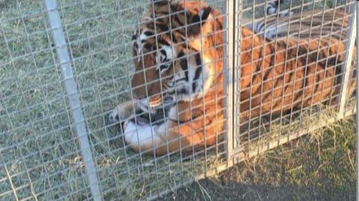 Cum sunt chinuite animalele de la un circ din Târgu-Mureș. Imagini șocante